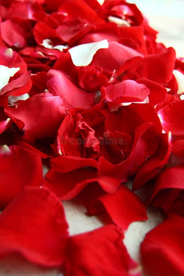 Pétalos color de rosa rojos foto de archivo
