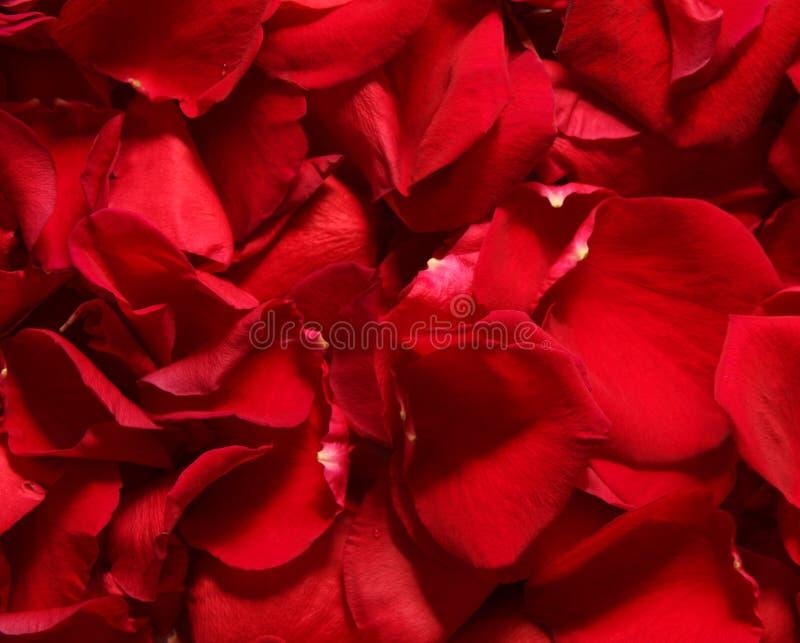 Pétalos color de rosa rojos. fotos de archivo libres de regalías