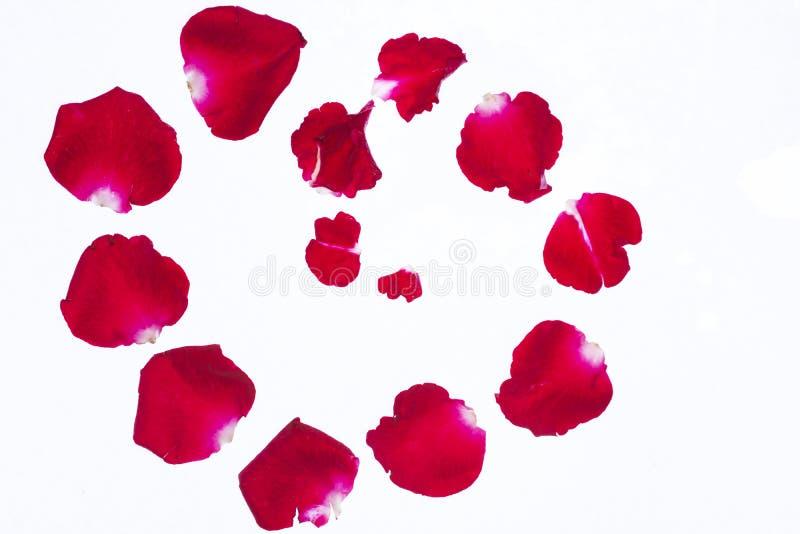 Pétalos color de rosa rojos en el fondo blanco imagen de archivo libre de regalías