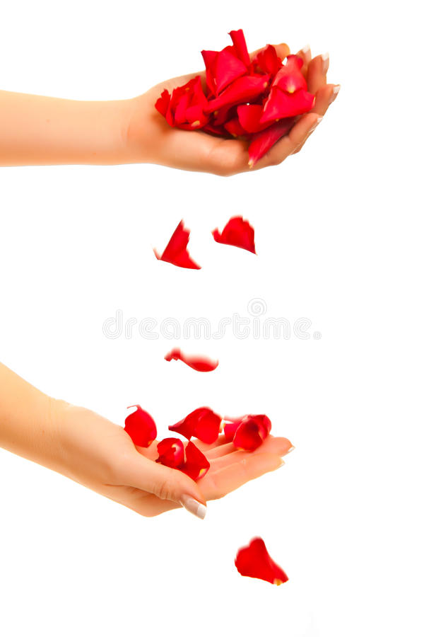 Pétalos color de rosa rojos en la mano de la mujer aislada imagen de archivo