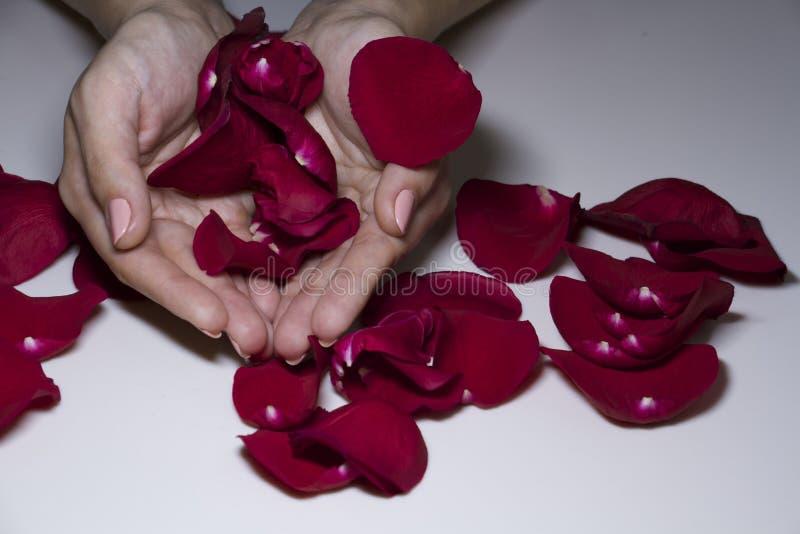 Pétalos color de rosa rojos en las palmas de las mujeres imagenes de archivo