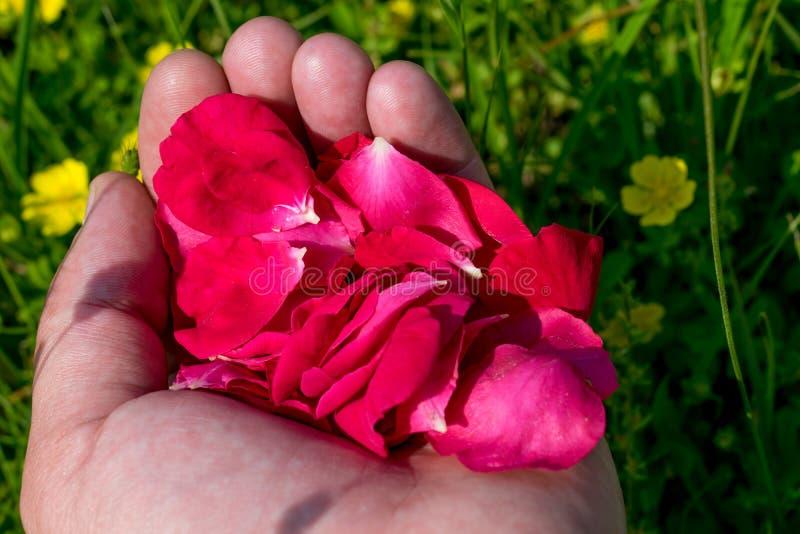 Pétalos color de rosa rojos en las palmas foto de archivo