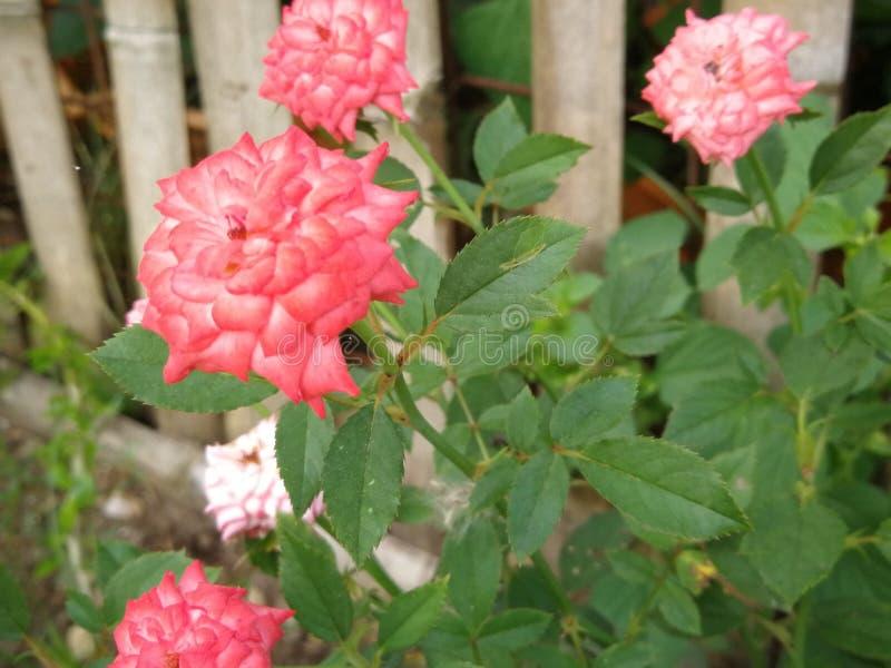 Pétalos color de rosa rosados dobles foto de archivo