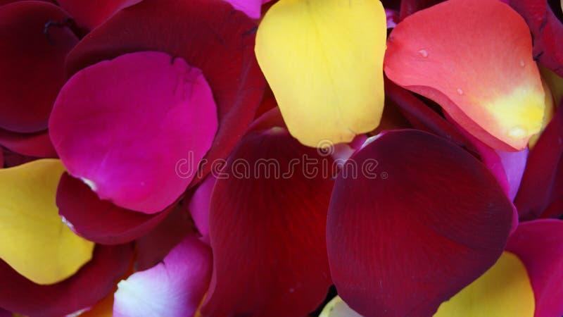 Pétalos coloridos del ` s de la rosa foto de archivo libre de regalías