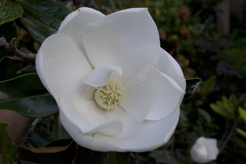 Pétalos curvados y agraciados de la flor blanca grande de una magnolia meridional fotografía de archivo libre de regalías