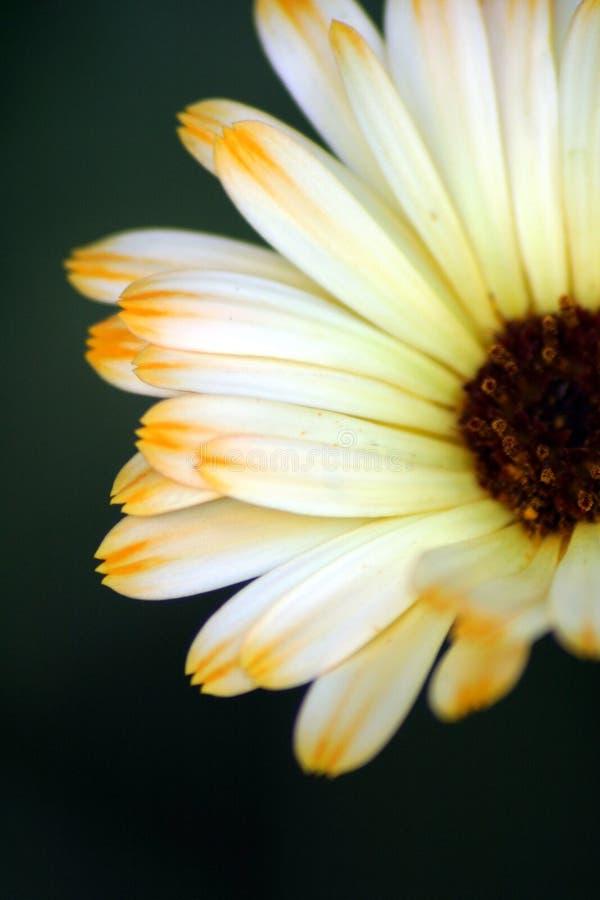 Pétalos de la flor imágenes de archivo libres de regalías