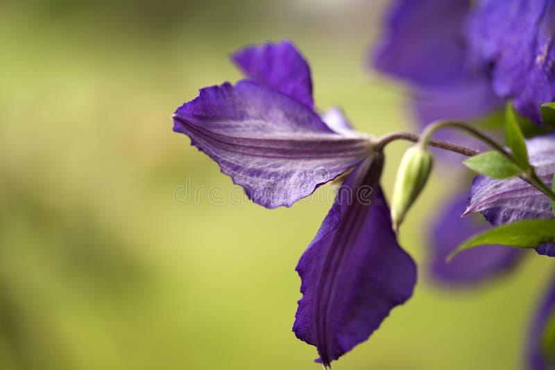 Pétalos de la flor de la clemátide púrpura con el fondo verde fotos de archivo