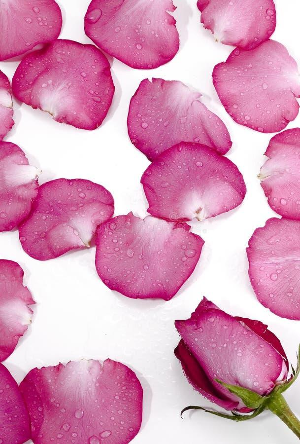 Pétalos de rosa, petali di rosa fotografia stock