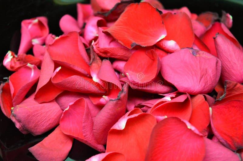 Pétalos de rosas rojas imagen de archivo
