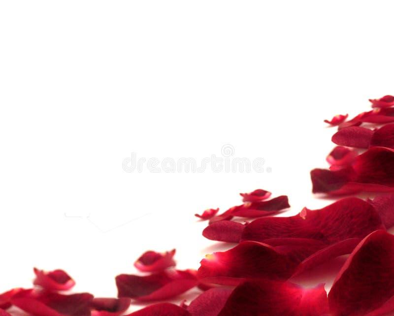 Pétalos de Rose fotografía de archivo