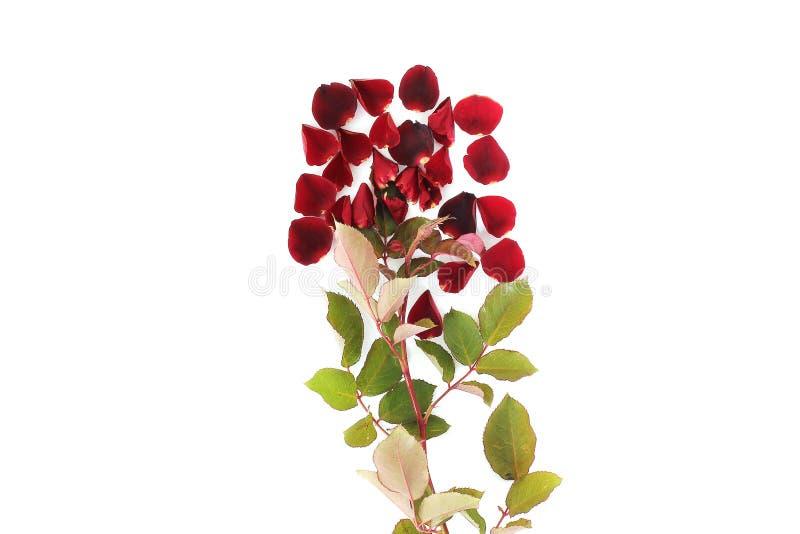 Pétalos de Rose en el fondo blanco fotografía de archivo libre de regalías