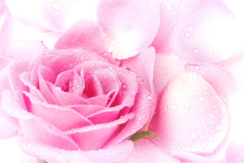 Pétalos de Rose rosados foto de archivo libre de regalías