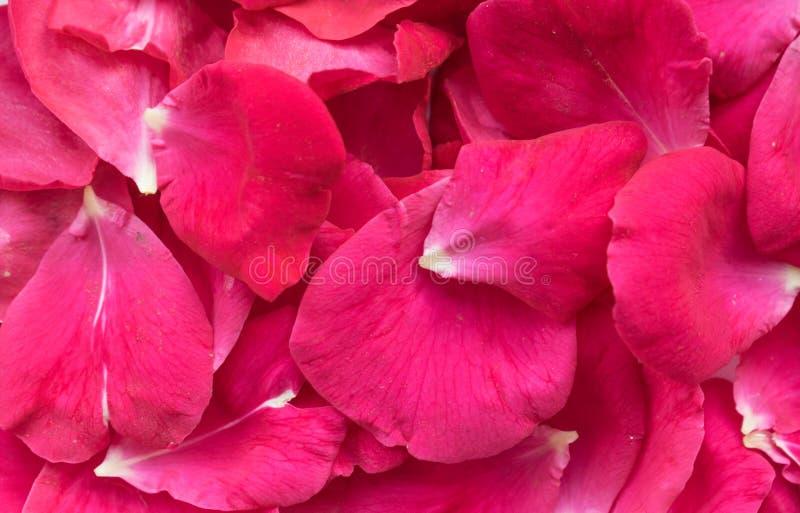 Pétalos de Rose una decoración natural hermosa imagen de archivo