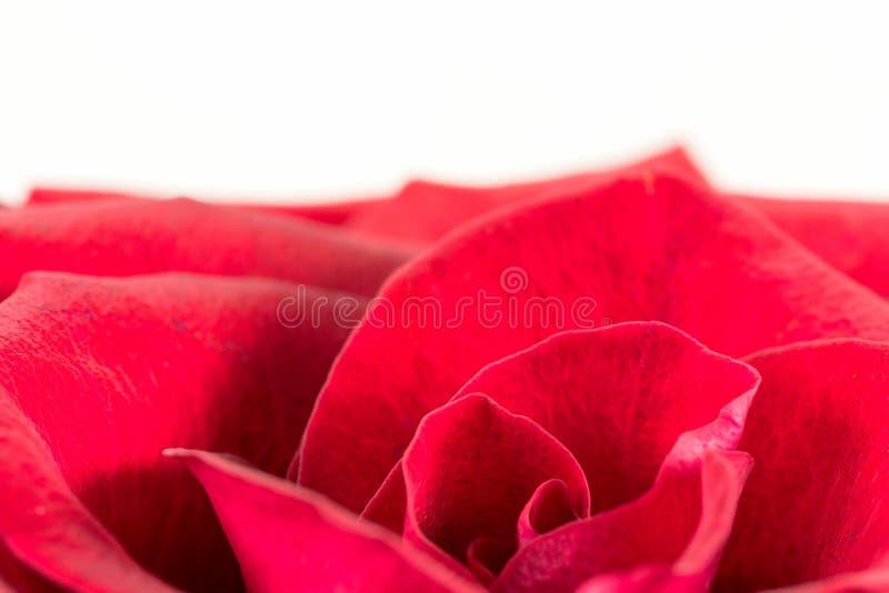Pétalos de una flor hermosa de la rosa del rojo imágenes de archivo libres de regalías