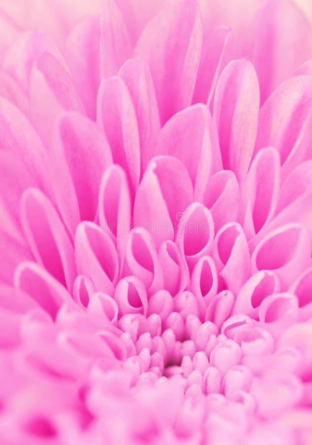 Pétalos de una flor rosada imágenes de archivo libres de regalías