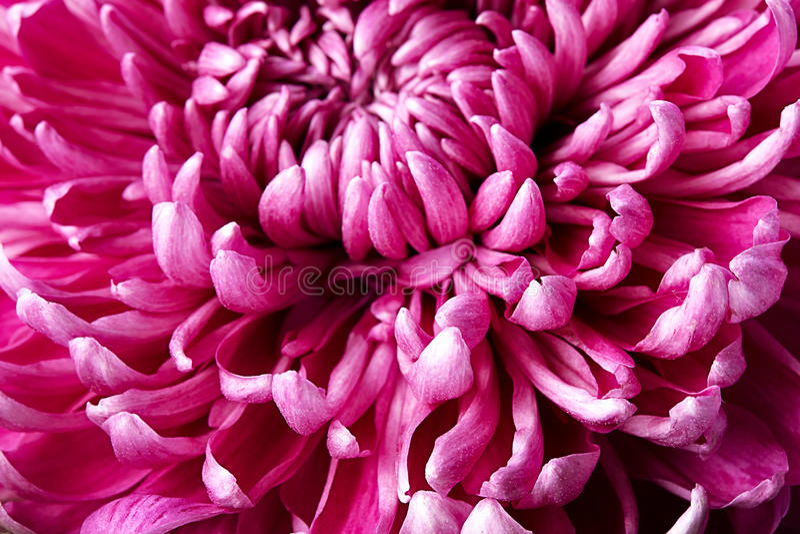 Pétalos del crisantemo fotos de archivo