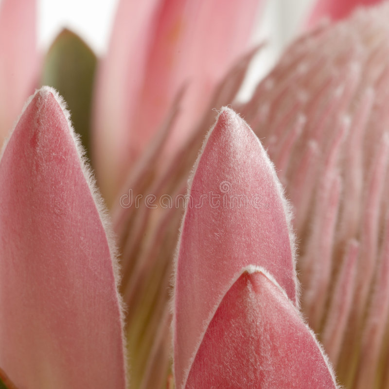 Pétalos del protea del acerico sq fotografía de archivo