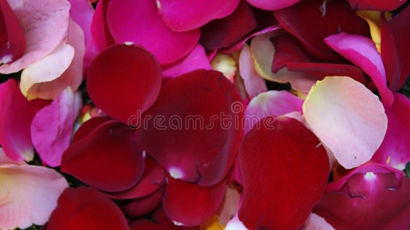 Pétalos del ` s de la rosa del rojo fotos de archivo