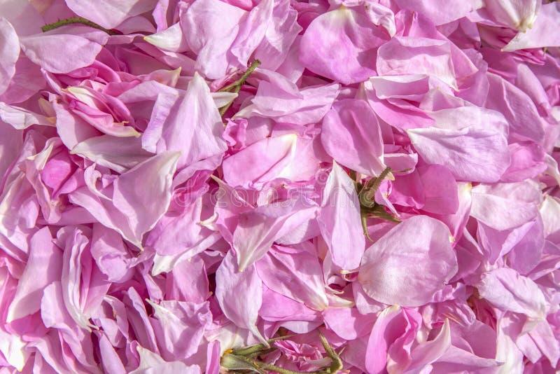 Pétalos frescos de rosas imagen de archivo