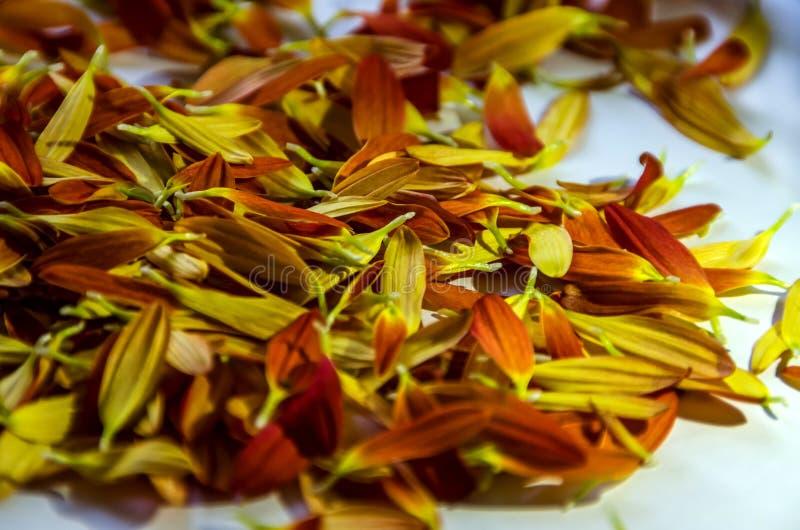 Pétalos hermosos, anaranjados y amarillos de la flor fotografía de archivo libre de regalías