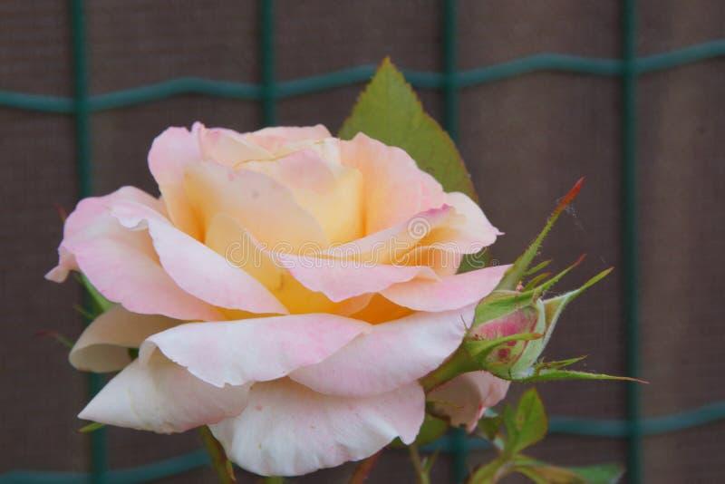 Pétalos magníficos del color rosado Una flor rosada es el romántico Front View imagen de archivo libre de regalías