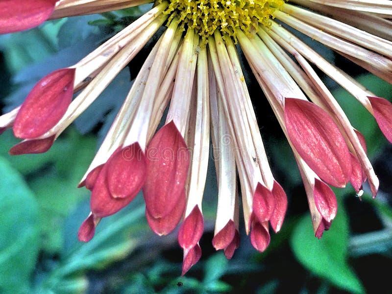 Pétalos multicolores de una flor fotos de archivo
