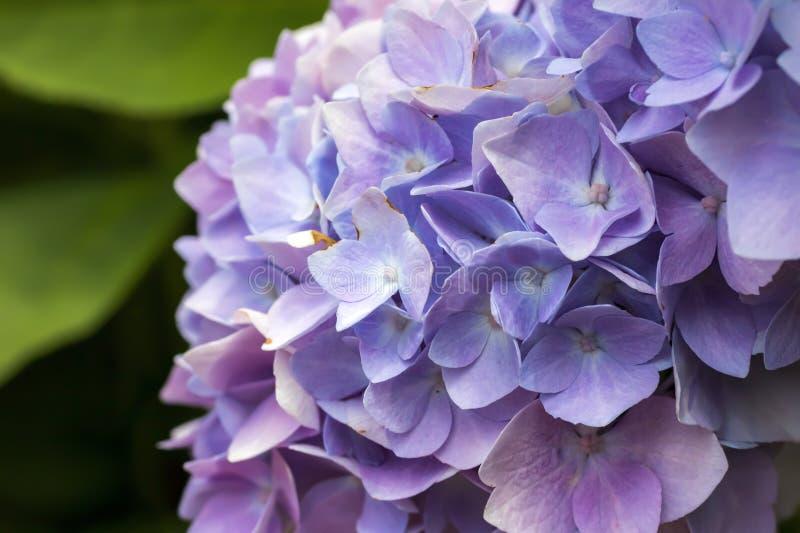 Pétalos púrpuras y rosados macros de la hortensia fotos de archivo libres de regalías
