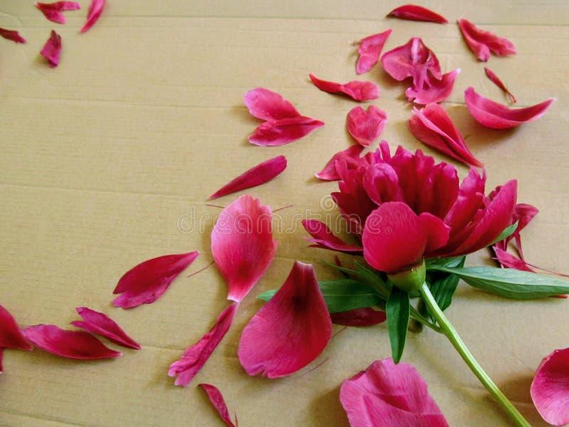 Pétalos rasgados de la peonía dispersados aleatoriamente alrededor de una flor en una superficie marrón de la cartulina Fondo flo foto de archivo
