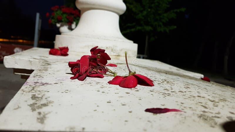 Pétalos rojos en sacar de quicio a blanco imagenes de archivo
