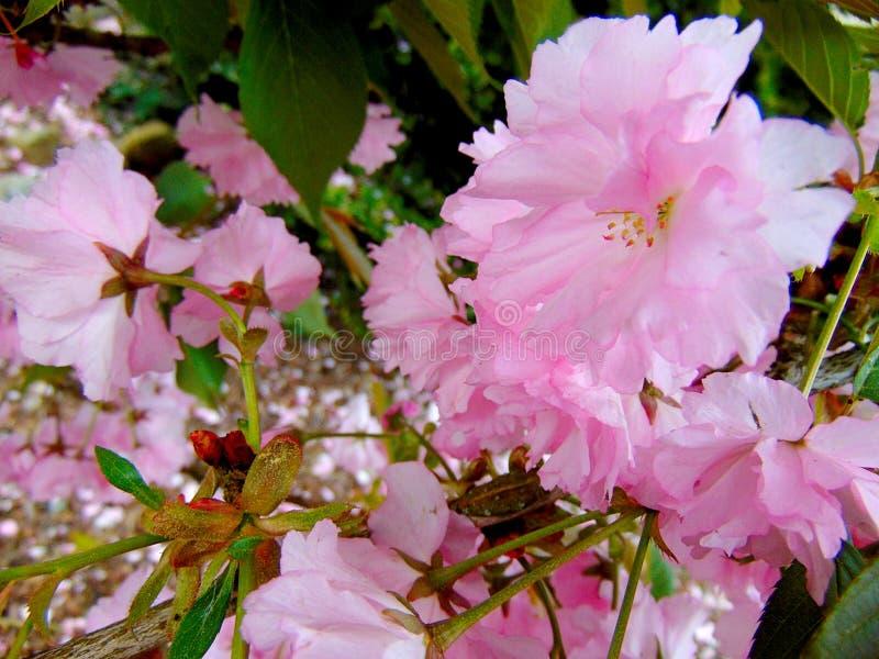 Pétalos rosados de la flor de cerezo que ponen en una tierra de la corteza imagen de archivo