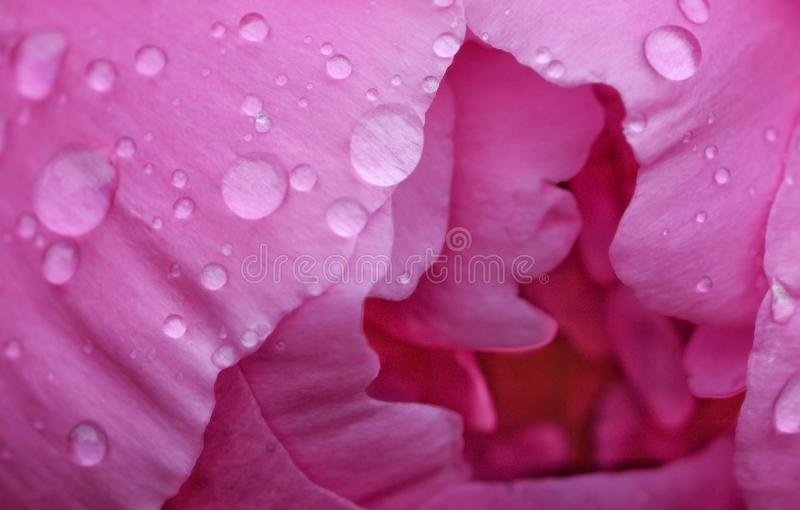 Pétalos rosados en colores pastel delicados de la peonía con el primer de las gotas de agua imágenes de archivo libres de regalías
