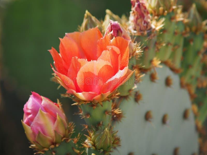 Pétalos rosados y púrpuras de la flor del cactus del higo chumbo imágenes de archivo libres de regalías