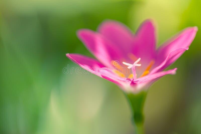 Pétalos tropicales exóticos del rosa de la flor en fondo borroso del bokeh foto de archivo