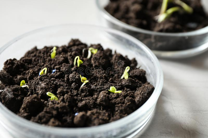 Pétri avec sol et graines germées sur table légère Recherche en laboratoire photos libres de droits