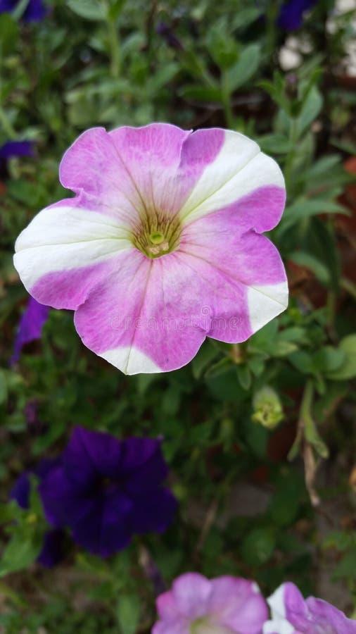 pétunia Croix-pollinisé photos stock
