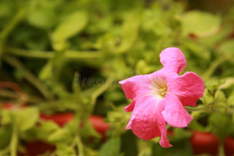 Pétunia de floraison images libres de droits