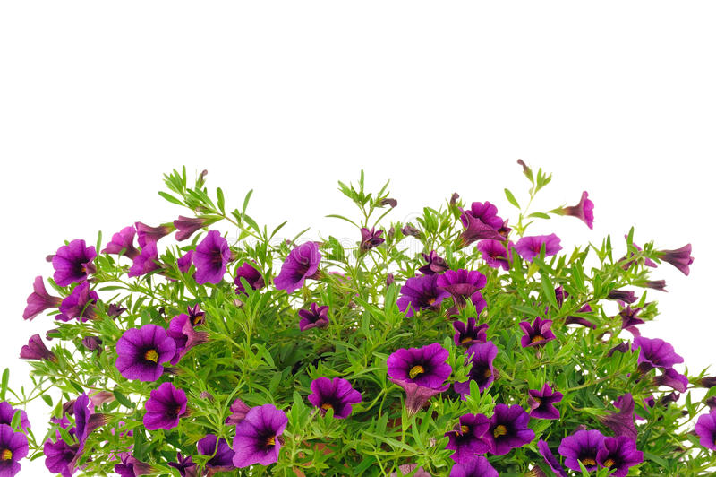 Pétunia, fleurs de Surfinia au-dessus du fond blanc image libre de droits