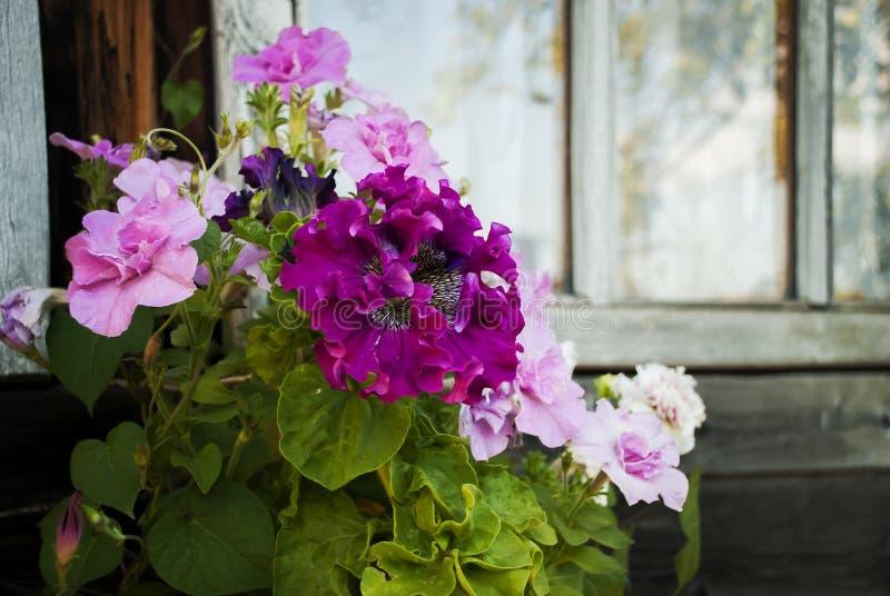 Pétunias roses mis en pot photo stock