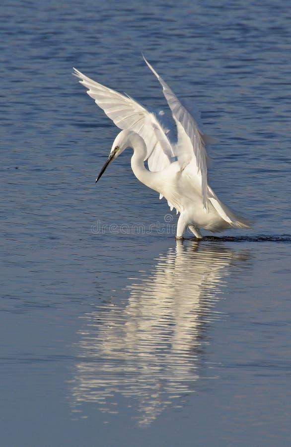 Pêche blanche de héron dans le lac image libre de droits