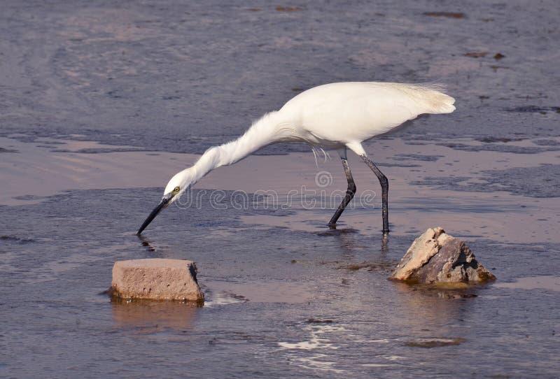 Pêche blanche de héron dans le marais image libre de droits