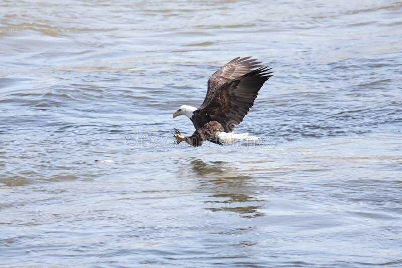 Pêche d'aigle chauve image stock