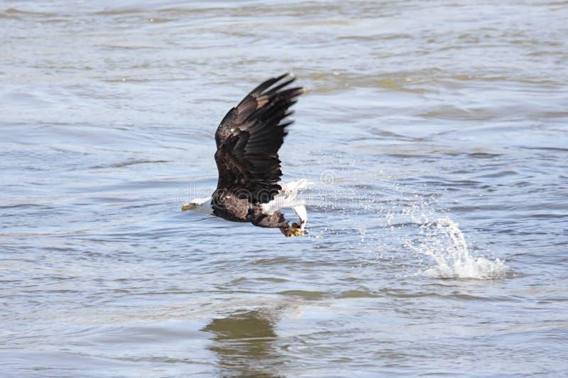 Pêche d'aigle chauve image libre de droits