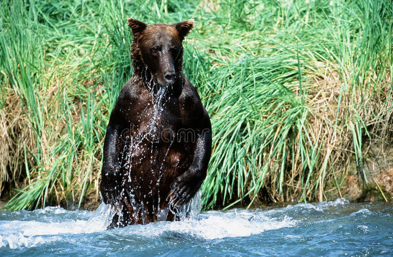 Pêche d'ours gris photo stock