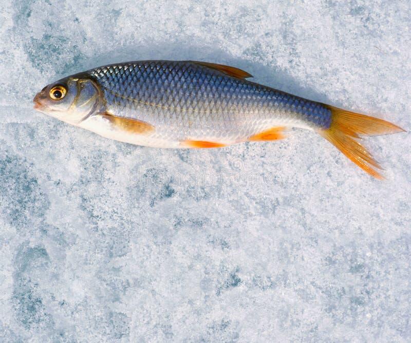 Pêche de l'hiver. Juste le poisson enfermé se trouve sur la glace. images libres de droits