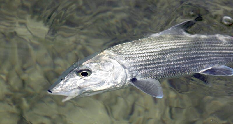 Pêche de mouche pour le bonefish photographie stock