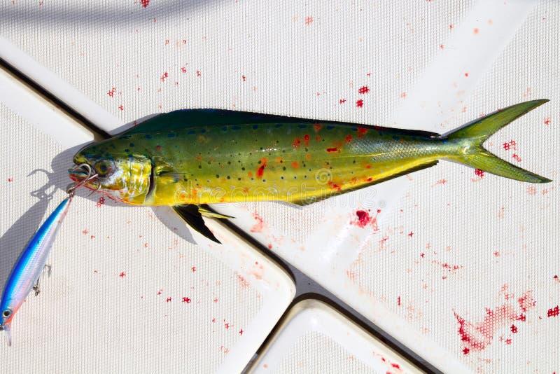 Pêche de sport sanglante de poissons de dauphin avec l'attrait photo libre de droits