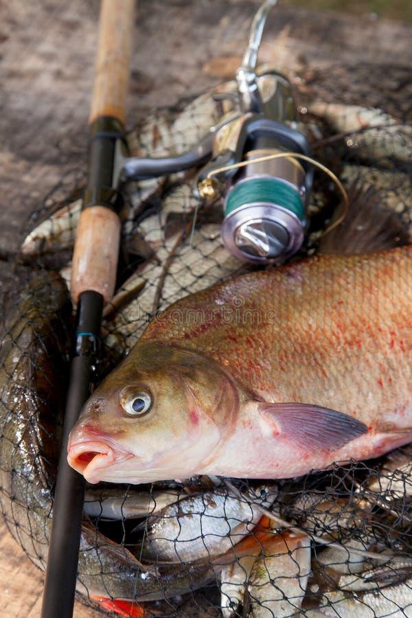 Pêche de trophée Vue haute étroite de grands poissons communs d'eau douce de brème et de canne à pêche avec la bobine sur l'épuis photo stock