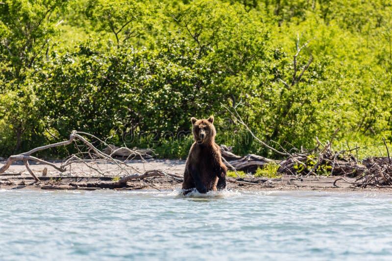Pêche debout de beringianus d'arctos d'Ursus d'ours brun dans le lac Kurile Péninsule de Kamchatka, Russie photographie stock