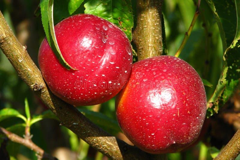 Pêches de nectarine sur l'arbre image stock