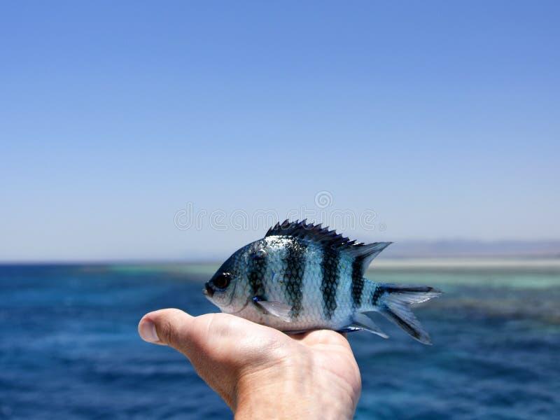 Pêchez dans la main de la Mer Rouge image stock